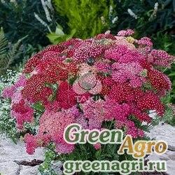 Тысячелистник обыкновенный Achillea millefolium Summer Berries F2 Mix Raw 1000
