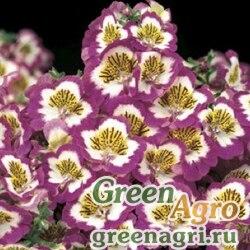 Схизантус визетонский Schizanthus x wisetonensis Atlantis F1 rose bicolor Raw 1000