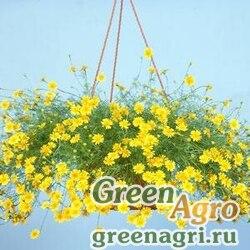 "Тимофилла тонколопастная (Thymophylla tenuiloba) ""Golden Dawn"" (yellow) raw 1000 шт."