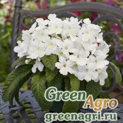 "Стрептокарпус гибридный (Streptocarpus x hybridus) ""Cape Cool"" (white) pelleted Произв. 1000 шт."