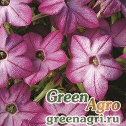 "Табак крылатый (Nicotiana alata) ""Saratoga F1"" (purple bicolor) pelleted 1000 шт."