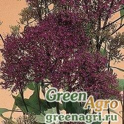 Трахелиум синий Trachelium caeruleum Lake Michigan Violet Pelleted 1000