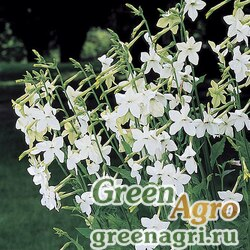 "Табак крылатый (Nicotiana alata) ""Nicki"" (white) raw 1000 шт."