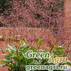 Талинум метельчатый Talinum paniculatum VERDE Green foliage Raw 1000