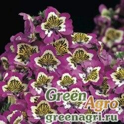 Схизантус визетонский Schizanthus x wisetonensis Atlantis F1 lilac bicolor Raw 1000