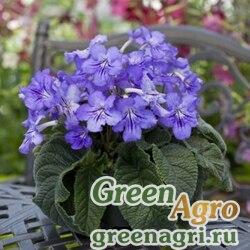 "Стрептокарпус гибридный (Streptocarpus x hybridus) ""Cape Cool"" (blue shades) pelleted Произв. 1000 шт."