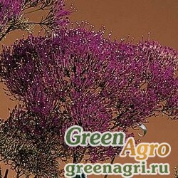 Трахелиум синий Trachelium caeruleum Lake Louise Purple Pelleted 1000