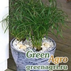 Сыть очереднолистная Cyperus alternifolius Cyperus alternifolius Green leaves Raw 10000