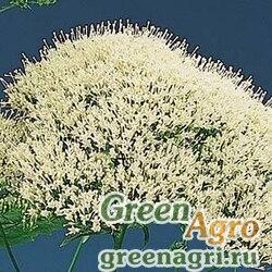 Трахелиум синий Trachelium caeruleum Lake Louise White Pelleted 1000