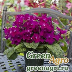 "Стрептокарпус гибридный (Streptocarpus x hybridus) ""Cape Cool"" (burgundy shades) pelleted Произв. 1000 шт."