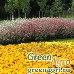 "Табак гибридный (Nicotiana x hybrida) ""Whisper F1"" (deep pink) pelleted 5000 шт."