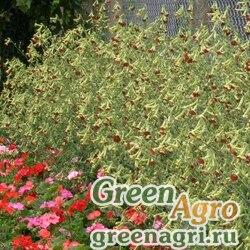 """Табак гибридный (Nicotiana x hybrida) """"Tinkerbell F1"""" (deep red) raw 1000 шт."""