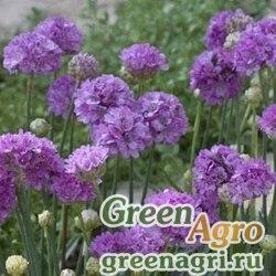 "Армерия ложноармерия (Armeria pseudarmeria) ""Ballerina"" (lilac) cleaned 1000 шт."