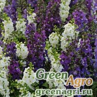 Ангелония узколистная Angelonia angustifolia SERENA MIX WATERFALL Pelleted 100