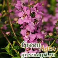 "Ангелония узколистная (Angelonia angustifolia) ""Serenita F1"" (white) pelleted 100 шт."