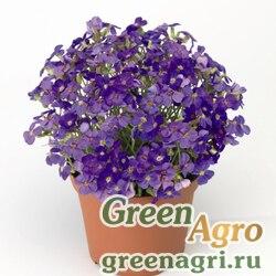 """Аубриета гибридная (Aubrieta hybrida) """"Audrey F1"""" (light blue) raw 1000 шт."""