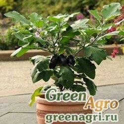 Баклажан Solanum melongena PATIO BABY GREEN Raw 100