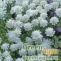 Семена Амми большая Ammi majus GRACELAND WHITE Raw 10000