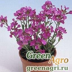 """Арабис реснитчатолистный (Arabis blepharophylla) """"Spring Charm"""" (rose) raw 1000 шт."""
