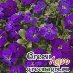 "Аубриета гибридная (Aubrieta hybrida) ""Audrey F1"" (deep purple compact) raw 1000 шт."