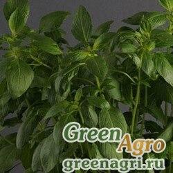 Базилик благородный Ocimum basilicum SWEET DANI LEMON GREEN Raw 50