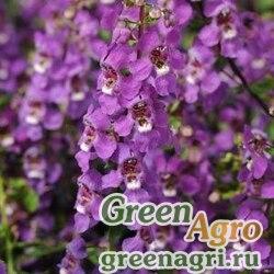 Ангелония узколистная Angelonia angustifolia SERENA PURPLE Pelleted 100