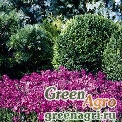 """Арабис реснитчатолистный (Arabis blepharophylla) """"Rose Delight"""" (rose) raw 1000 шт."""
