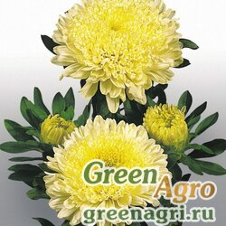 "Астра китайская (Callistephus chinensis) ""Matador"" (yellow) raw 1000 шт."