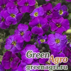 "Аубриета гибридная (Aubrieta hybrida) ""Audrey F1"" (purple shades) raw 1000 шт."