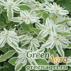 """Молочай окаймленный (Euphorbia marginata) """"Early Snow"""" (white) 30 гр."""
