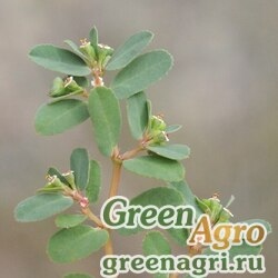 Молочай приземистый (Euphorbia humifusa) 1 гр.