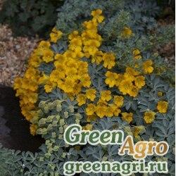 Настурция многолистная (Tropaeolum polyphyllum) 5 гр.