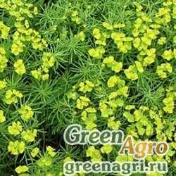 Молочай Ленский (Euphorbia lenensis) 0.8 гр.