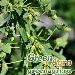 Молочай оголенный (Euphorbia glaberrima) 0.5 гр.