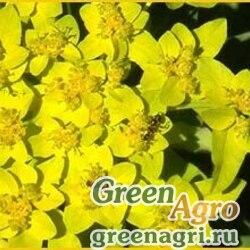 Молочай желтеющий (Euphorbia lutescens) 2.5 гр.
