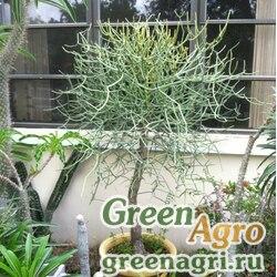 Молочай интизи (Euphorbia intisy) 1 гр.