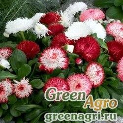 "Маргаритка многолетняя (Bellis perennis) ""Monstrosa"" (double flowered mixed) 10 гр."
