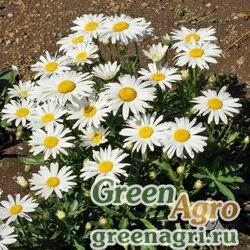 "Нивяник большой (Chrysanthemum maximum) ""Silver Princess"" гр 30 гр."