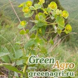 Молочай членистоплодный (Euphorbia condylocarpa) 1 гр.