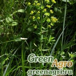Молочай прутьевидный (Euphorbia virgata) 4 гр.
