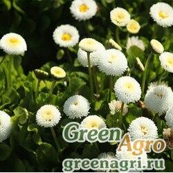 "Маргаритка многолетняя (Bellis perennis) ""Pomponette"" (white) 2 гр."