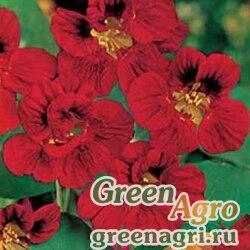 """Настурция большая (Tropaeolum majus) """"Mahogany Gleam"""" 100 гр."""