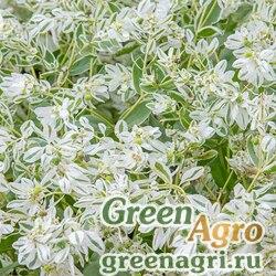 """Молочай окаймленный (Euphorbia marginata) """"Mountain Snow"""" (white) 40 гр."""
