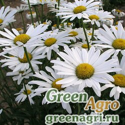 """Нивяник большой (Chrysanthemum maximum) """"Alaska"""" гр 80 гр."""