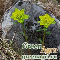 Молочай алтайский (Euphorbia altaica) 2.5 гр.