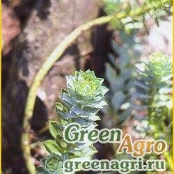 Молочай миртолистный (Euphorbia myrsinites) 0.5 гр.