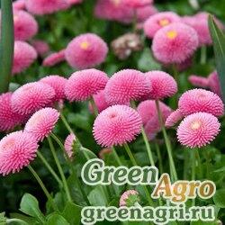 "Маргаритка многолетняя (Bellis perennis) ""Pomponette"" (pink) 2 гр."