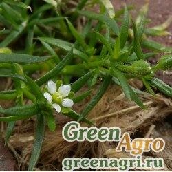 Мшанка/сагина японская (Sagina japonica) 0.3 гр.