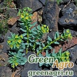 Молочай монгольский (Euphorbia mongolica) 1 гр.