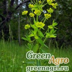 Молочай грузинский (Euphorbia iberica) 0.5 гр.